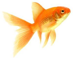gold fish age