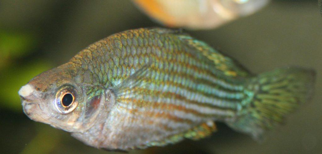 Treating fish fungus aquatics world for White fungus on fish
