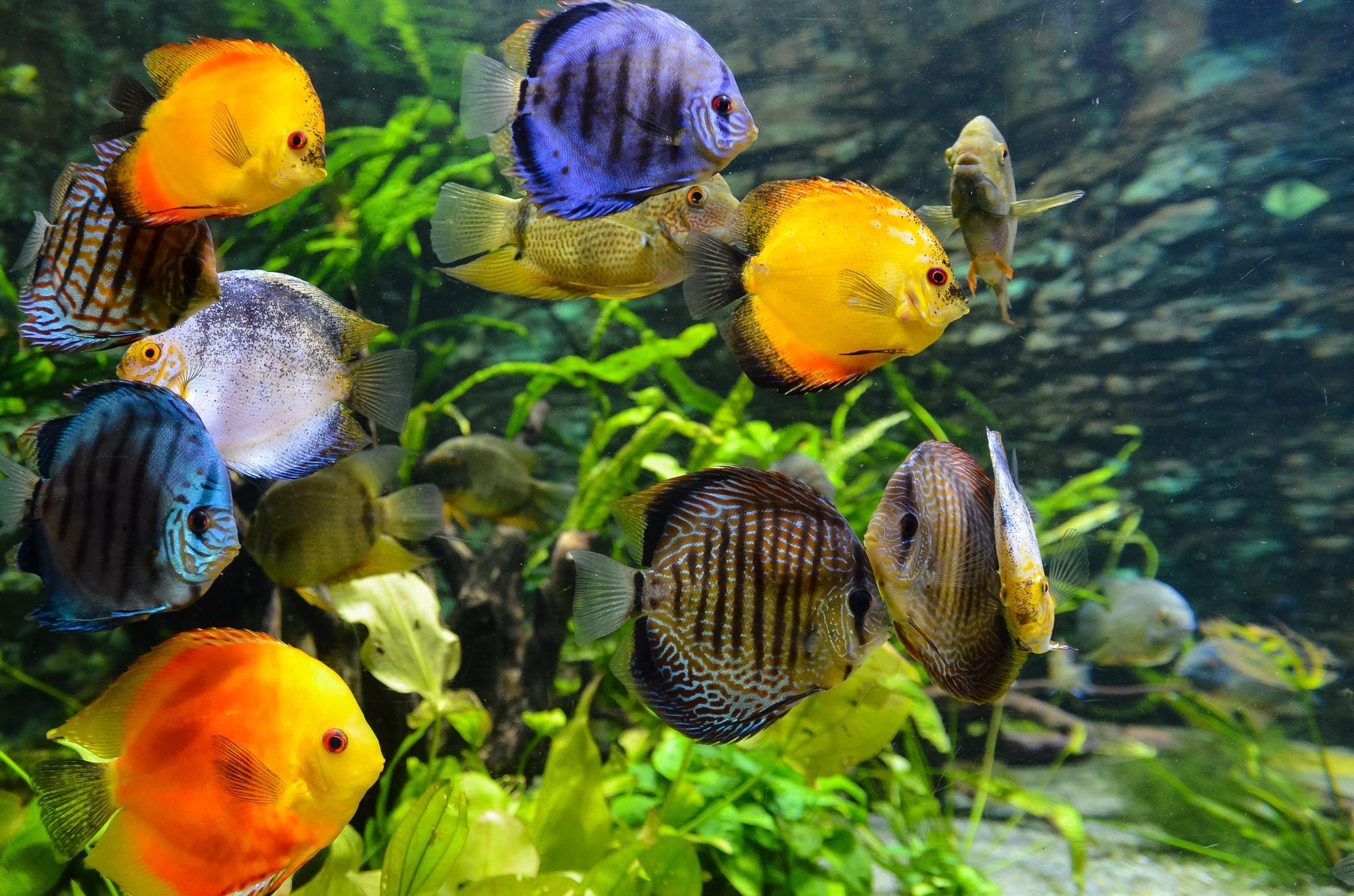 The best tropical aquarium fish for beginners aquatics world for Best starter fish