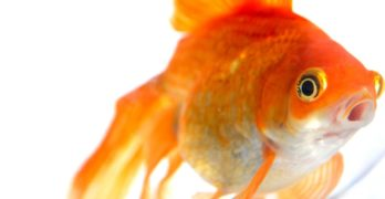 How Long Do Goldfish Live For?