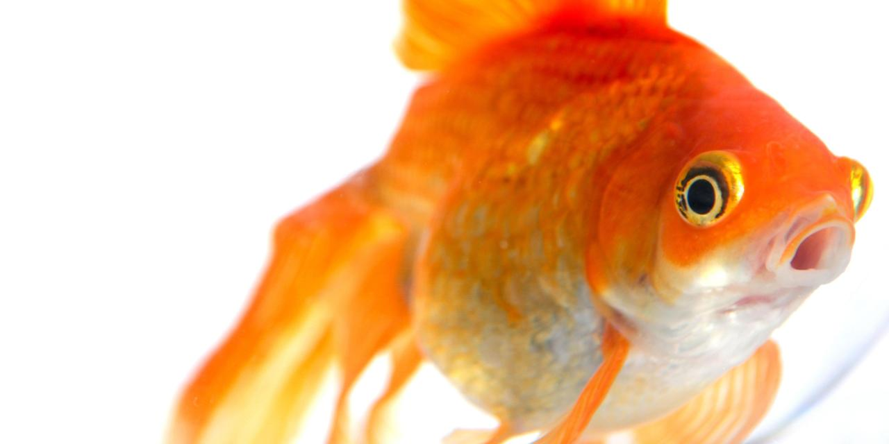 long goldfish are called - digitalspace info